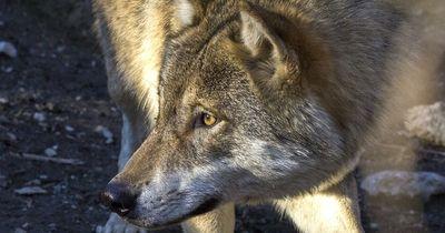 Mann befreit Wolf