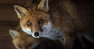 Frau rettet Fuchs vor sicherem Tod
