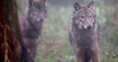Dieser Mann ist ein Wolf-Flüsterer!
