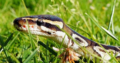 Schrecklich: Hund in den Fängen einer Python