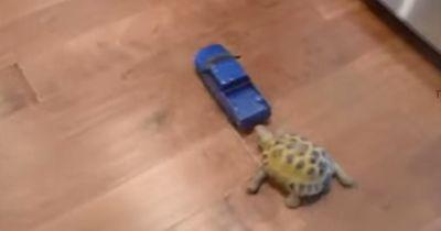 Können Schildkröten Autofahren?