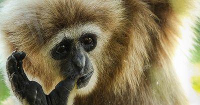 Duell zwischen Affe und Tiger - Wer gewinnt?