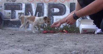 Kleiner Straßenhund wird angefahren und sucht Hilfe