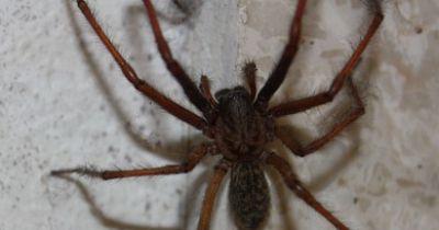 Was passiert wenn sich zwei riesige Hausspinnen treffen?