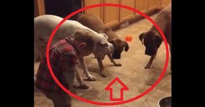 Mit nicht einmal 2 Jahren hat er die 3 Hunde voll im Griff!