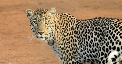 Leopard mag sein Spiegelbild