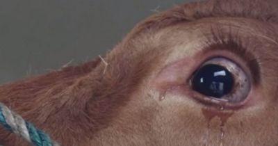 Eine weinende Kuh auf dem Weg zum Schlachter - denkt sie!