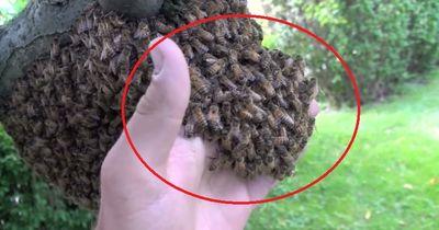 Wahnsinn! Ohne Schutz fasst er in einen Bienenschwarm!