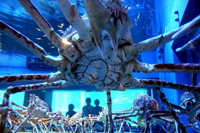 Japanische Riesenkrabben sind gigantisch