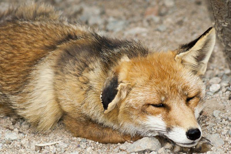Einen Fuchs Als Haustier Halten