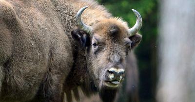 Löwenrudel greift Büffel an – Büffel gewinnt auf besondere Weise