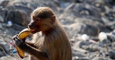 Die Banane und der Affe