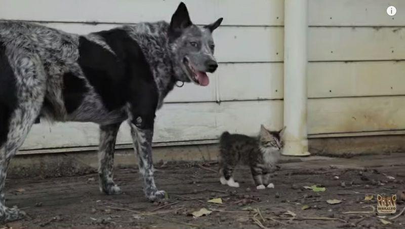 Hund wacht über sein Wackelköpfchen