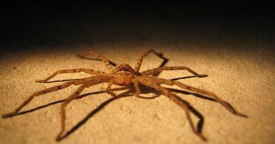 Jagdspinnen jagen ihre Beute