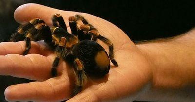 Taranteln und Vogelspinnen als Haustiere?
