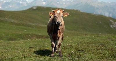Diese Kühe stehen auf Musik!