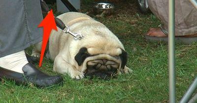 Eilmeldung: Dieser Besitzer ließ seine Mopshündin absichtlich bei dieser Hitze im Auto!