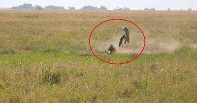 Dieser Leopard greift ein Warzenschwein-Baby an