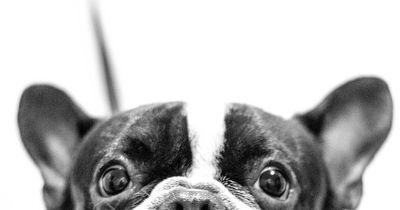 Wundersame Heilung einer gelähmten Französischen Bulldogge