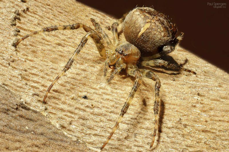 Angst vor Spinnen? Guten Appetit!