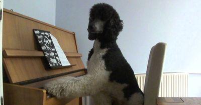 Hunde stehen auf Klavier