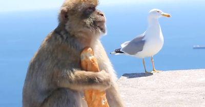 Wenn Affen stehlen wird es lustig
