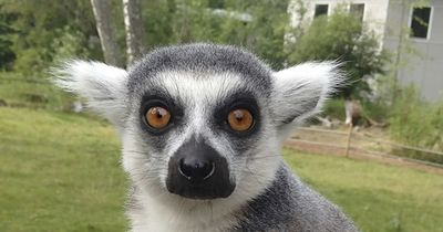 Lemuren bringen Dich zum Lachen