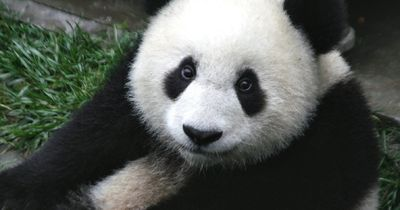 5 Fakten über Pandas, die nicht jeder kennt!