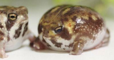 Diese Froschart macht wohl das süßeste Geräusch, das du jemals gehört hast!