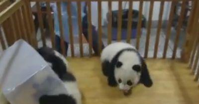 Dieser Panda ist einfach entzückend!
