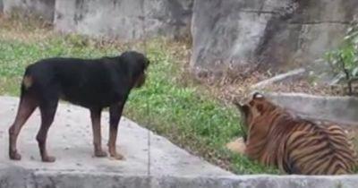 Ein Hund im Tigergehege