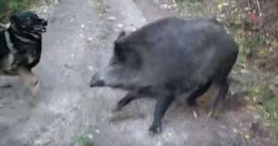 Spaziergänger werden von Wildschweinrotte überfallen. Doch dann macht ihr Hund DAS!
