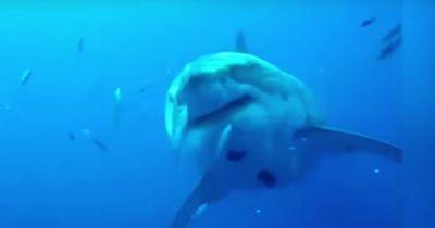 Dieser Hai ist zu gigantisch um wahr zu sein - doch er ist real!