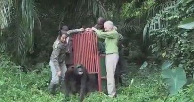 Dieser Schimpanse erlebt das pure Glück.