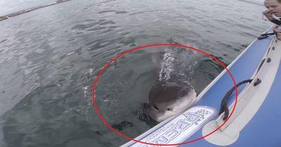 HEFTIG: Weißer Hai attackiert Schlauchboot!