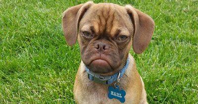 Dieser Hund hasst dich noch mehr als Grumpy Cat!