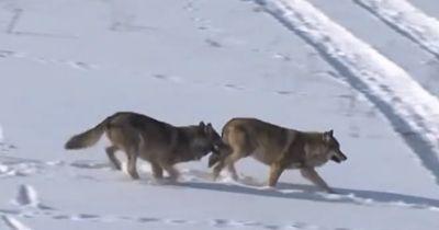 Die Mutter dieser Wölfe wurde von einem Jäger erschossen