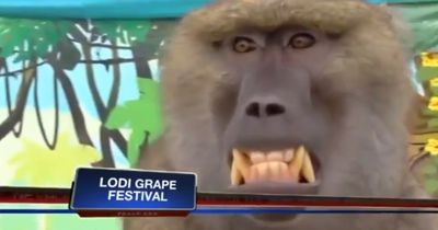 Dieser Affe begrapscht vor laufender Kamera eine ahnungslose Reporterin