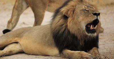 Die Stellungnahme zur Tötung von Cecil