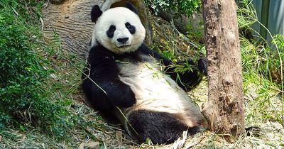 Deshalb sind Pandas so gefährdet: 5 schnelle Fakten, die du wissen musst!