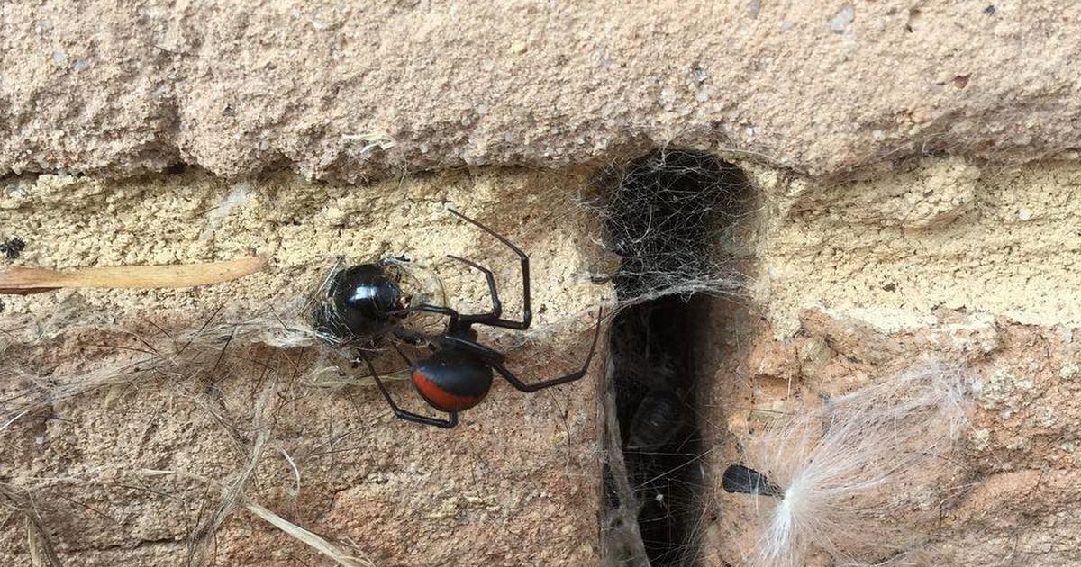 Die Gefährlichste Spinne Der Welt