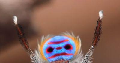 Selbst die größten Spinnen-Hasser lieben diese Zwerg-Spinne