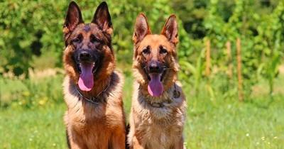 Die Top 10 der beliebtesten Hunderassen