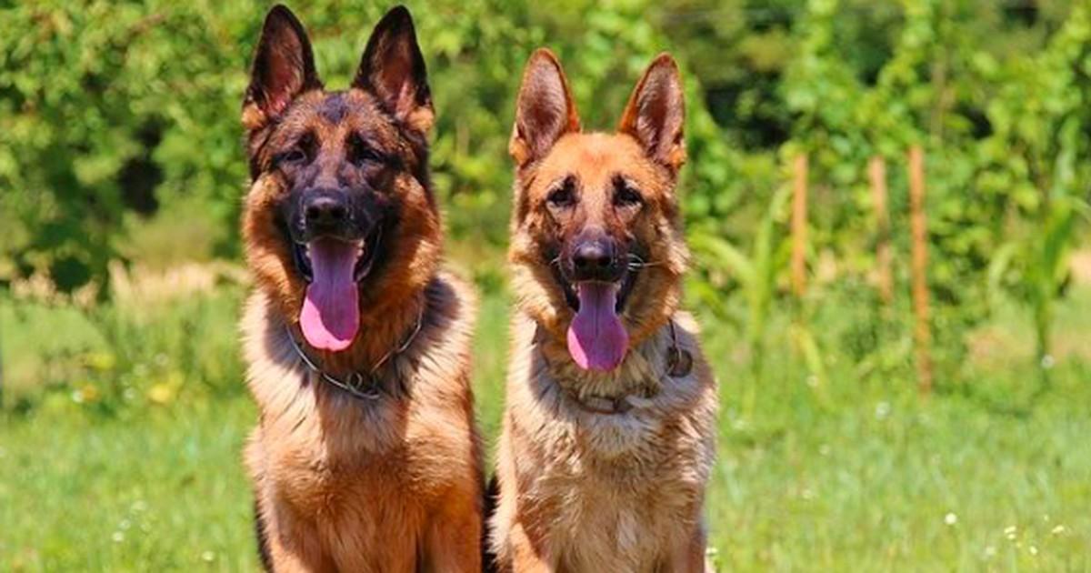 Die Top 29 der beliebtesten Hunderassen
