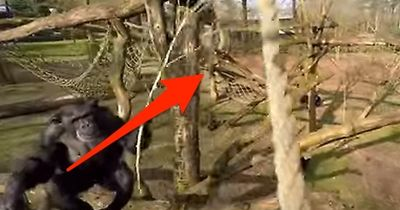 Was dieser Schimpanse aus der Luft holt, fasziniert die Wissenschaftler!