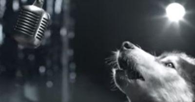 """Dieser Hund """"singt"""" gegen eine schlimme Krankheit"""