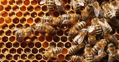Süchtig nach dem Stich einer Biene