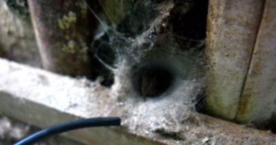 Der Versuch, eine hochgiftige Spinne rauszulocken - Auf keinen Fall nachmachen!
