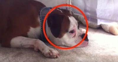 Wie dieser Hund auf das Weinen eines Babys reagiert, fasziniert 4 Millionen Zuschauer