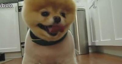Diese Reaktion einer der kleinsten Hunderasse verzückt Millionen Menschen